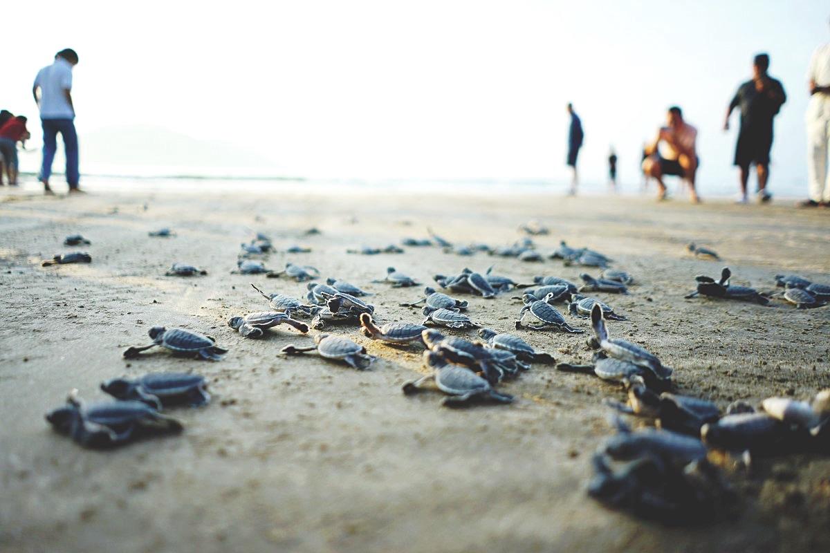 Mỗi năm Côn Đảo có hàng nghìn lượt rùa biển lên các bãi cát đẻ trứng. (Ảnh: tringuyenthuan).